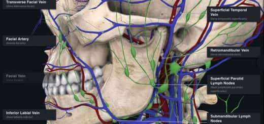Complete Anatomy screen shot of a skull